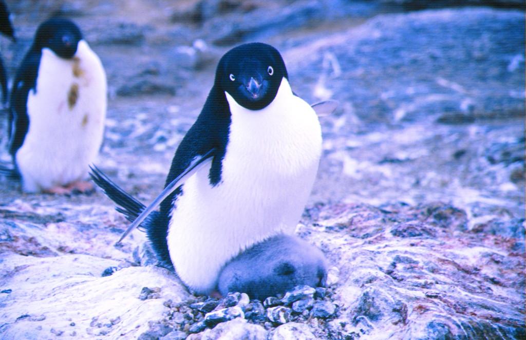 アデリーペンギンの画像 p1_33